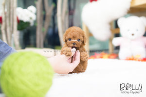 (SOLD to Nugent) Tulip - Poodle. F - Rolly Teacup Puppies - Rolly Pups