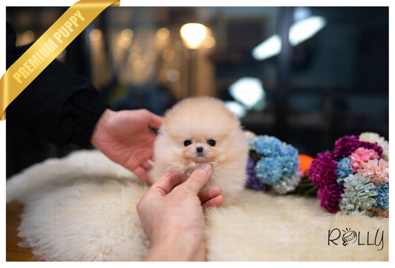 (Purchased by Curruti)Twinkle - Pomeranian. F - Rolly Teacup Puppies