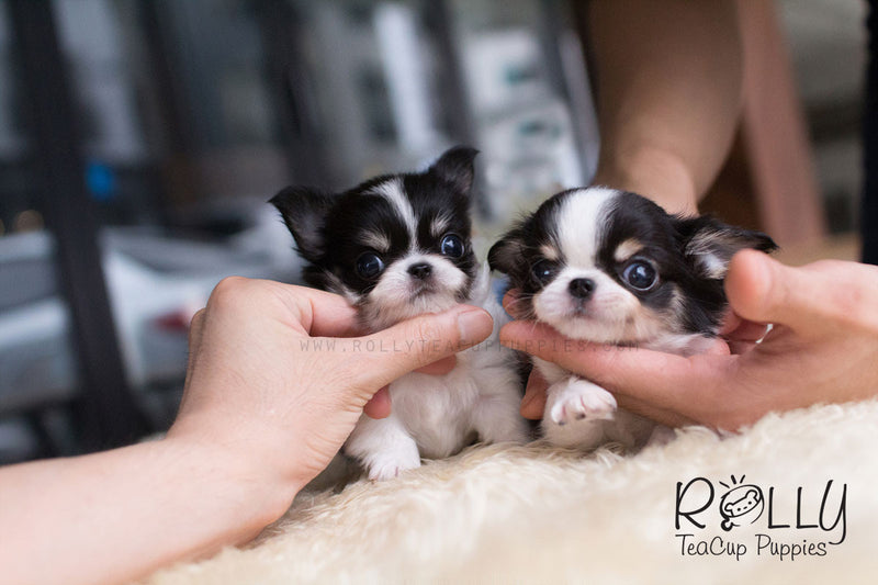 Taylor and Tyler - Long Hair Chihuahua - Rolly Teacup Puppies