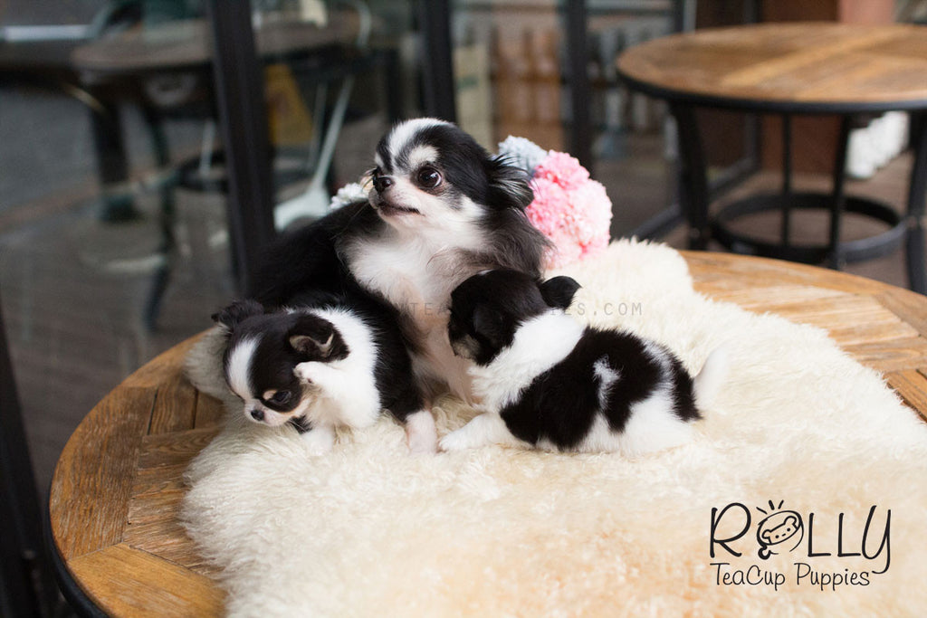 Taylor And Tyler Long Hair Chihuahua Rolly Teacup Puppies