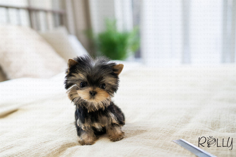 (PURCHASED by Pollard) TY - Yorkie. M - ROLLY PUPS INC
