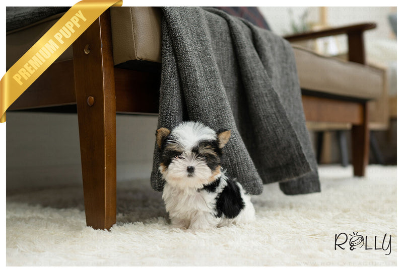 (RESERVED by Hauge) VIVA - Biewer Terrier. M - ROLLY PUPS INC