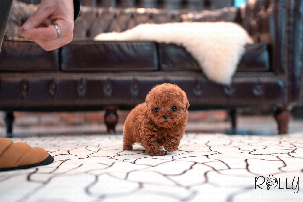 (Purchased by Genova) Valentine - Poodle. F - Rolly Teacup Puppies