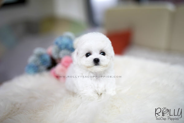 (SOLD to Caldwell) Vanilla - Bichon. F