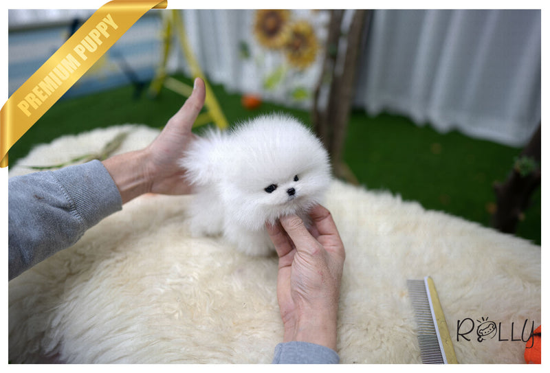 (Purchased by Flores) Venus - Pomeranian. F - Rolly Teacup Puppies