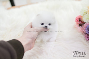 (SOLD to Slepian) Vicky - Pomeranian F. - Rolly Teacup Puppies