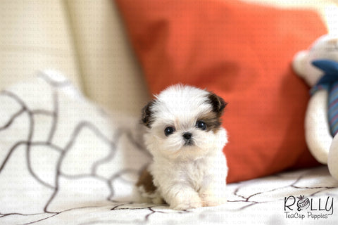 (SOLD to Jose) Viking - Shih Tzu. M - Rolly Teacup Puppies