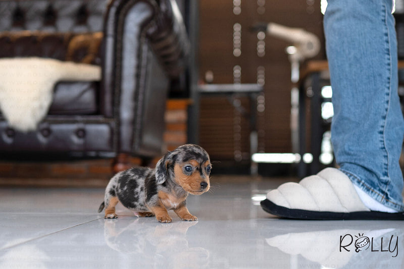 (RESERVED by Vulcano) WAFFLES - Dachshund. M - ROLLY PUPS INC