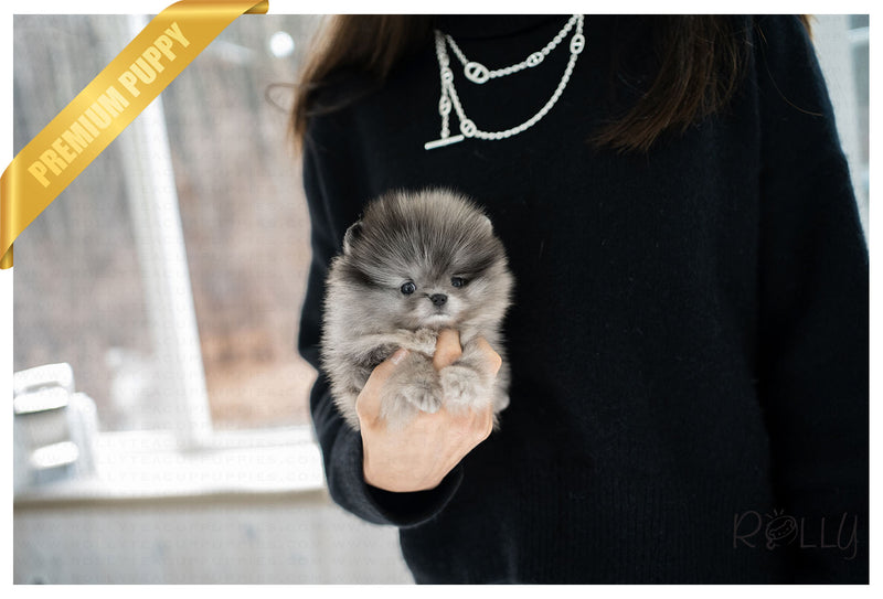 (PURCHASED by Nazerian) WOLFY - Pomeranian. M - Rolly Teacup Puppies - Rolly Pups