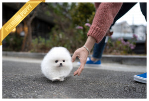 (PURCHASED by Nguyen) ALASKA - Pomeranian. M - Rolly Teacup Puppies - Rolly Pups