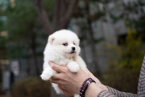 (PURCHASED by Hernandez) BLISS - Pomsky. F - Rolly Teacup Puppies - Rolly Pups