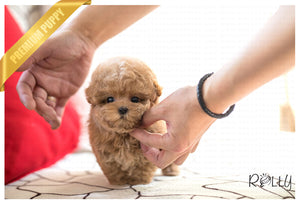 (Purchased by Waring)Waffle - Poochon. F - Rolly Teacup Puppies - Rolly Pups