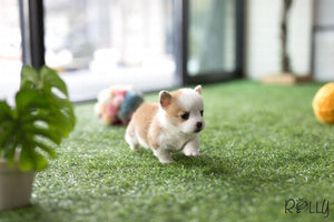 (Purchased by Zhu) Waldo - Corgi. M - Rolly Teacup Puppies