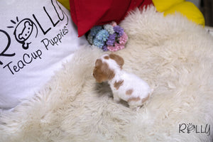 (Purchsed by Ko) Wendy - King Charles. F - Rolly Teacup Puppies - Rolly Pups