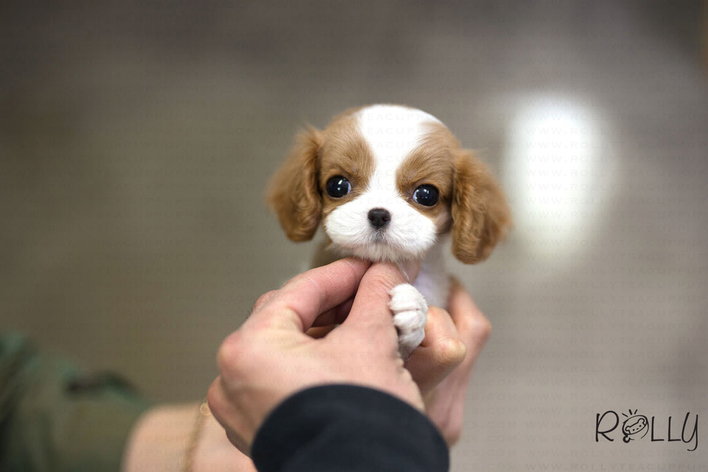 (Purchsed by Ko) Wendy - King Charles. F - Rolly Teacup Puppies
