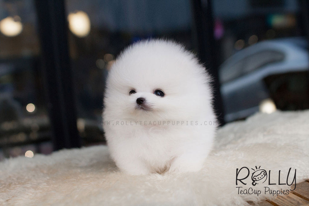 Igloo - Pomeranian