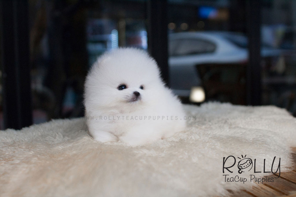Igloo - Pomeranian - Rolly Teacup Puppies