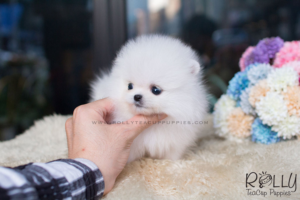 Jazz - Pomeranian - Rolly Teacup Puppies