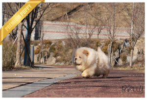 (Purchased by Zelman) WILLOW - Chow Chow. F - ROLLY PUPS INC