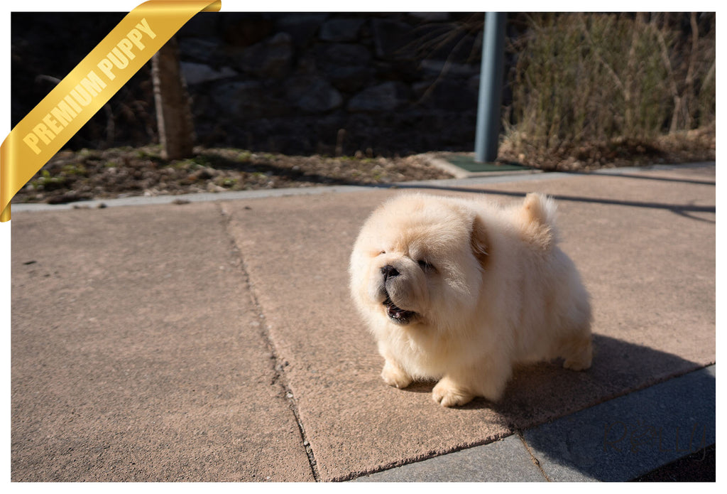 (Purchased by Zelman) WILLOW - Chow Chow. F - Rolly Teacup Puppies - Rolly Pups