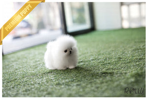 (Purchased by DeStefans) Wink - Pomeranian. F - Rolly Teacup Puppies