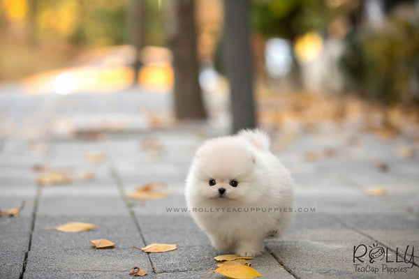 (SOLD to Laufer) Wink - Pomeranian. F - Rolly Teacup Puppies