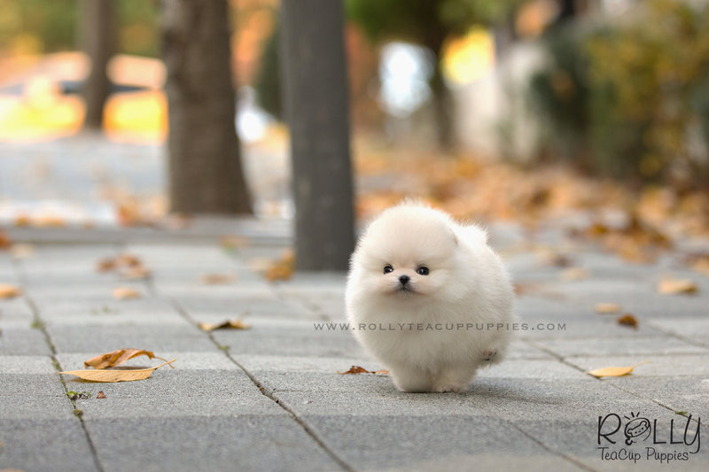 (SOLD to Laufer) Wink - Pomeranian. F - Rolly Teacup Puppies - Rolly Pups