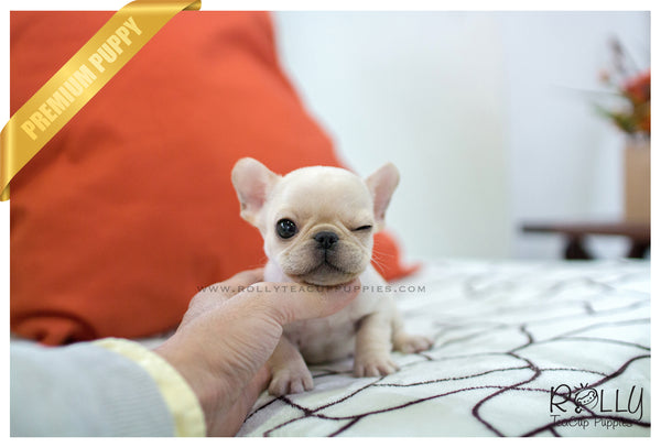 (SOLD to Marano) Winnie - French. M - Rolly Teacup Puppies