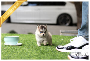 (Purchased by Killiam)Winston - Pomsky. M - Rolly Teacup Puppies - Rolly Pups