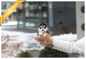(Purchased by Alexa) Winston - Pomsky. M - Rolly Teacup Puppies
