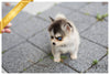 (Purchased by Killiam)Winston - Pomsky. M - Rolly Teacup Puppies