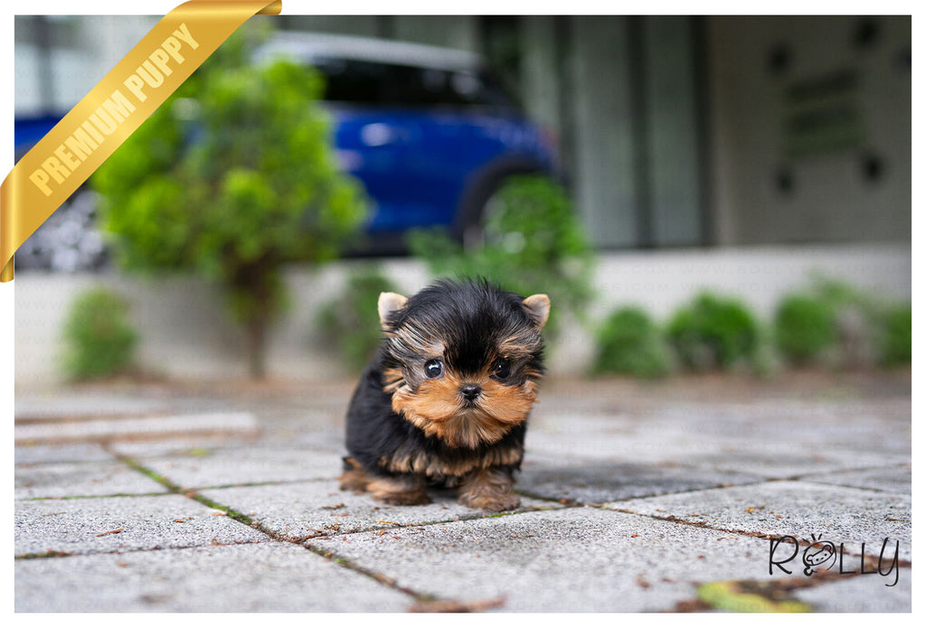 (Purchased by Wong) WINSTON - Yorkie. M - ROLLY PUPS INC