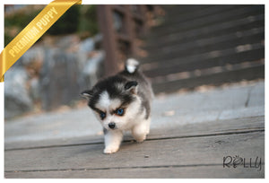 (PURCHASED by Rosales) WINTER - Pomsky. M - ROLLY PUPS INC