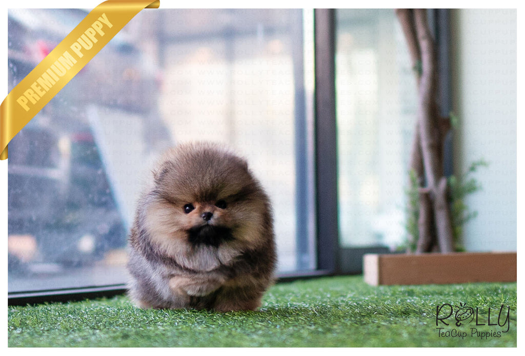 (Reserved by Palacios) Wolfy - Pomeranian. M - Rolly Teacup Puppies