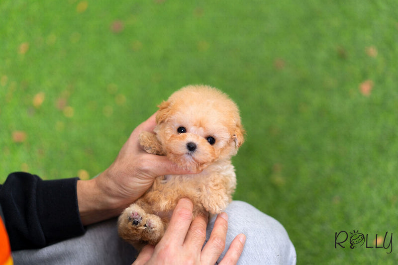 (Purchased by Yang) Woody - Poodle. M - Rolly Teacup Puppies
