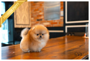 (PURCHASED by MK) Yogi Bear - Pomeranian. M - Rolly Teacup Puppies - Rolly Pups