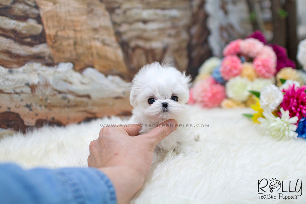 maltese puppy for sale near me sold to eva yeti maltese m rolly teacup puppies 9105