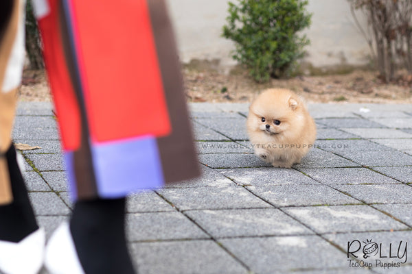 (SOLD to Lee) Loki - Pomeranian. M - Rolly Teacup Puppies