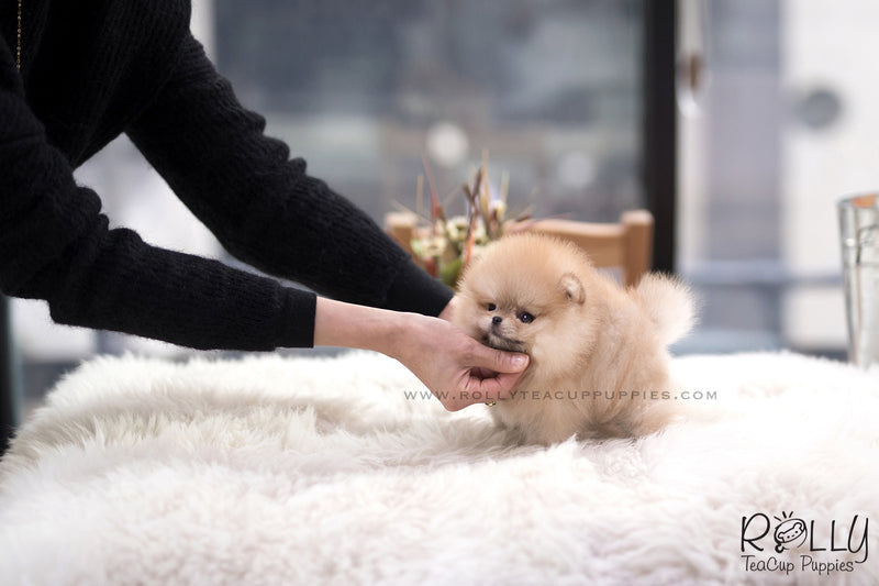 (SOLD to Lee) Loki - Pomeranian. M - Rolly Teacup Puppies - Rolly Pups