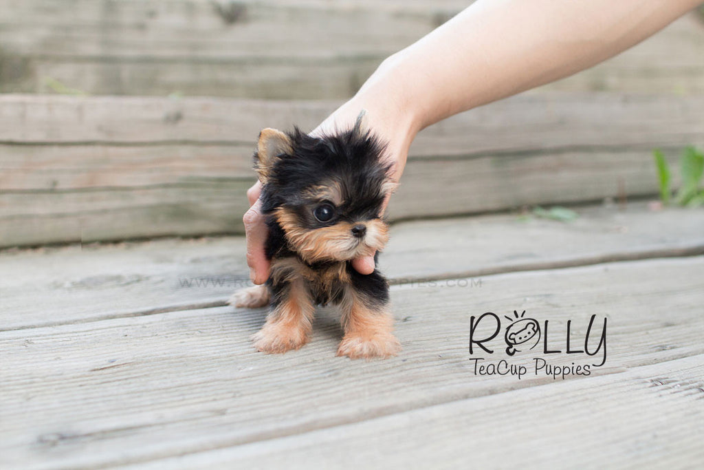 Ella - Yorkie - Rolly Teacup Puppies