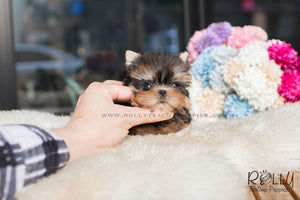 Ken - Yorkie - Rolly Teacup Puppies