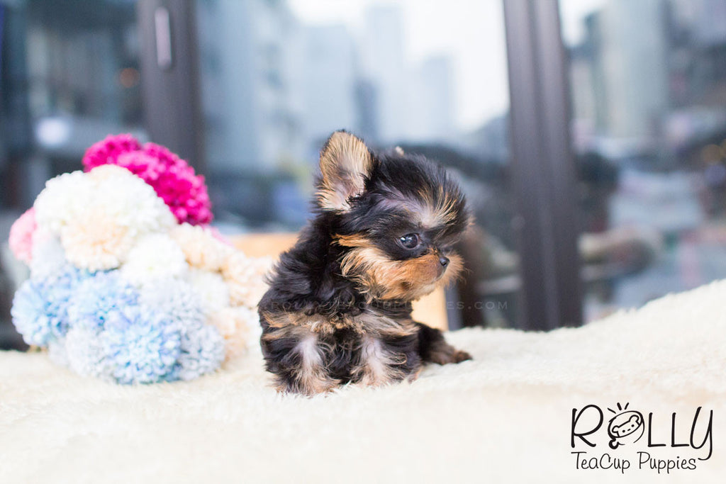 Heather - Yorkie - Rolly Teacup Puppies