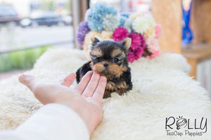Nina - Yorkie - Rolly Teacup Puppies