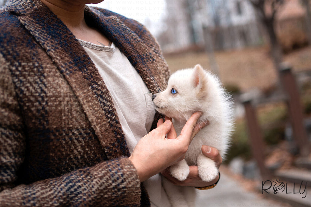(PENDING VERIFICATION) YUKI - Pomsky. F - Rolly Teacup Puppies - Rolly Pups
