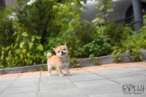 (SOLD to Kyu) Yuki - Shiba Inu. F - Rolly Teacup Puppies - Rolly Pups