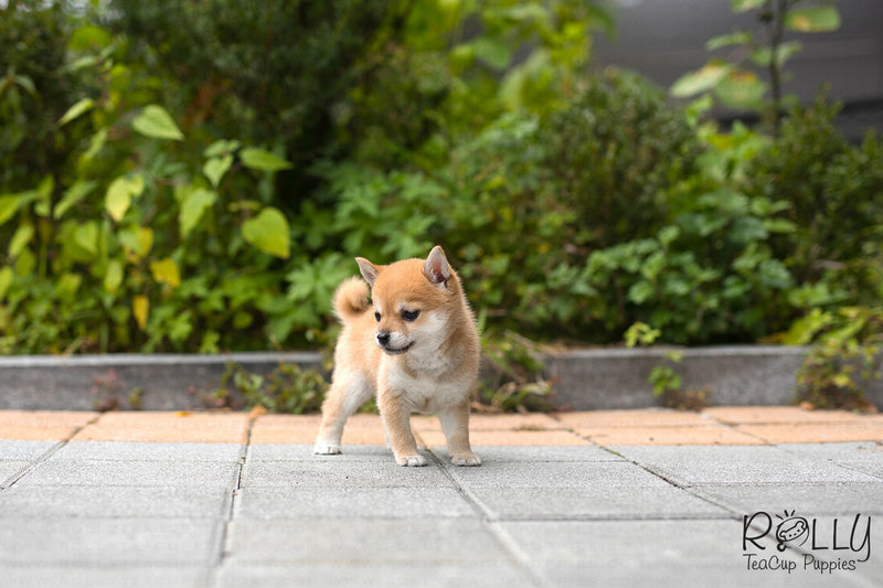 (SOLD to Kyu) Yuki - Shiba Inu. F - Rolly Teacup Puppies