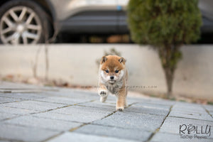 (SOLD to Daren) Yuri - Shiba Inu. F - Rolly Teacup Puppies - Rolly Pups