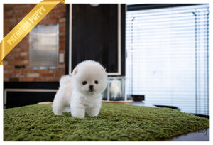 (Purchased by Pham) ZEUS - Pomeranian. M - Rolly Teacup Puppies