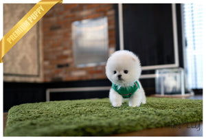 (Purchased by Pham) ZEUS - Pomeranian. M - Rolly Teacup Puppies - Rolly Pups