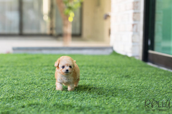 (SOLD to TRUONG) Zoe - Poodle. F - Rolly Teacup Puppies